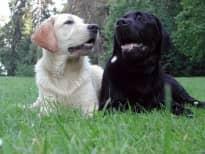 Собачьи знакомства и первая вязка.